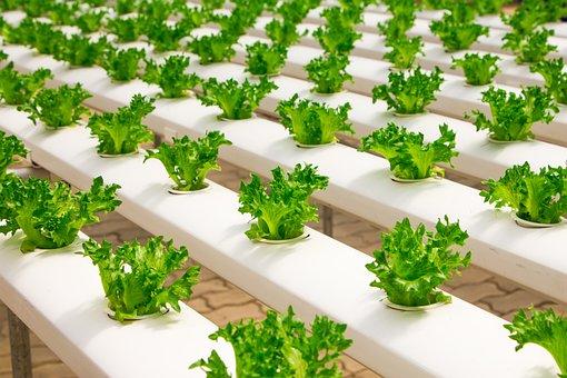 Greenhouse, Organic, Farming, Hydroponic, Cucumber