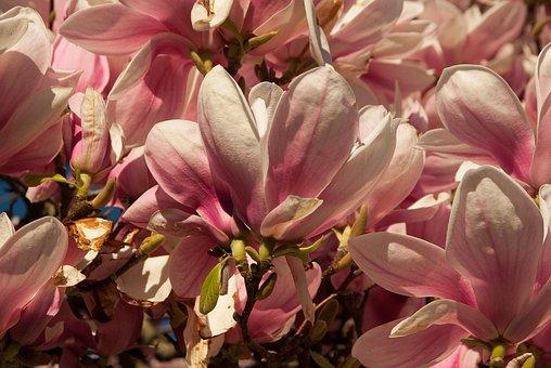 Magniolia, Flower, Spring, Flowering