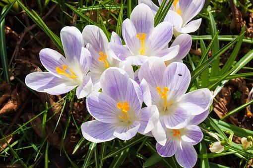 Crocus, Flower, Spring, Nature, Season, Plant, Garden