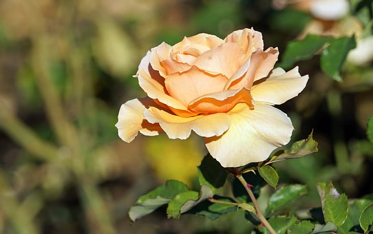 Rose, Bloom, Yellow, Garden, Rose Family, In The Free