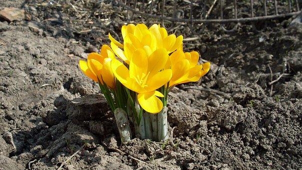 Spring, Kvity, Crocus