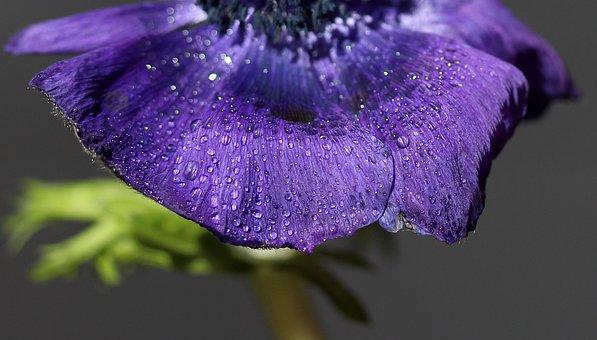 Flower, Blue, Drops, Water, Wet, Plant