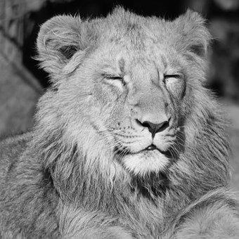 Lion, Animal, Mammal, Predator, Enjoy, Feline