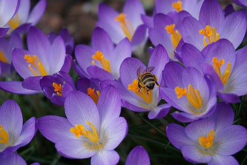 Flowers, Nature, Close, Purple Flower, Crocus
