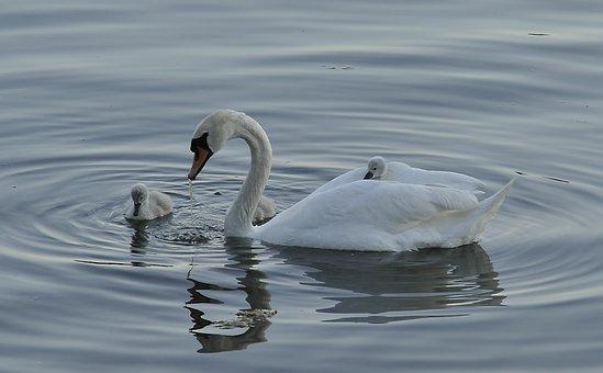 Swan, Cub, Bird, Parent, White, Water, Sea