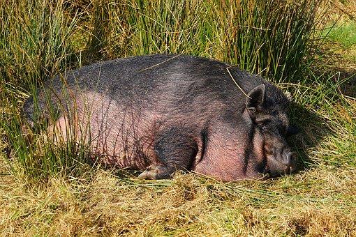 Pig, Domestic Pig, Livestock, Sow, Mammal, Sleep