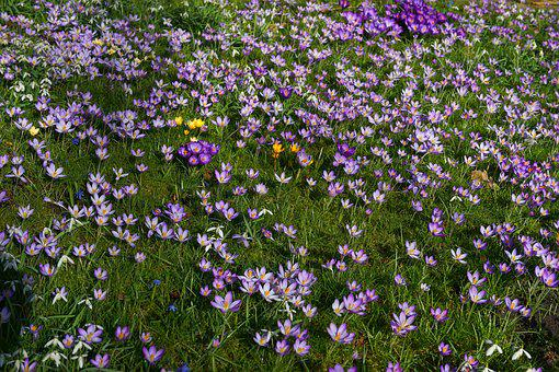 Garden, Crocus, Spring, Flowers, Nature, Early Bloomer