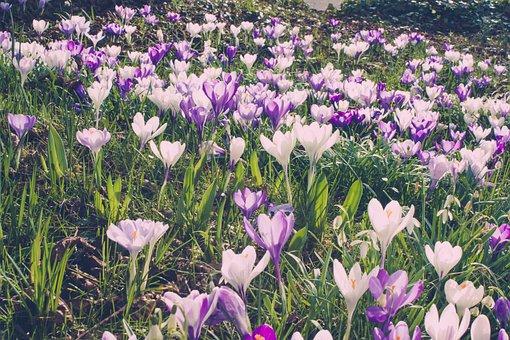 Flower, Crocus, Spring, Nature, Season, Plant, Garden