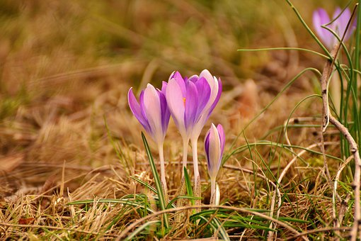 Crocus, Spring Flowers, Early Bloomer, Spring, Garden