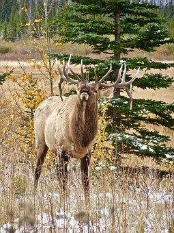 Elk, Stag, Antlers, Calling, Wildlife, Canada, Male