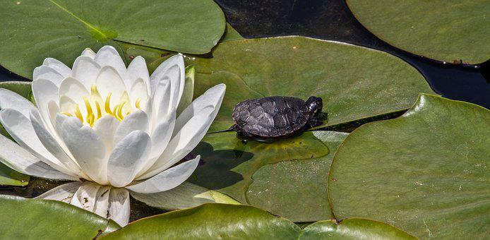 Lotus, Flower, White, Lily Pad, Turtle, Pond, Reptile