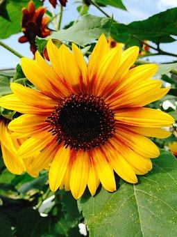 Sunflowers, Summer, Flower, Plant, Blooming, Vibrant