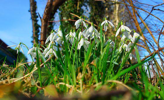 Snowdrop, Flowers, Signs Of Spring, White, Nature