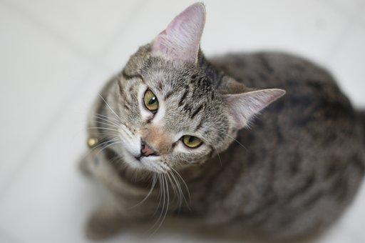 Kitten, Querulous, Curious, Cat, Bengal, Pet, Young