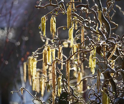Lamb's Tail, Corkscrew Hazel, Spring, Back Light