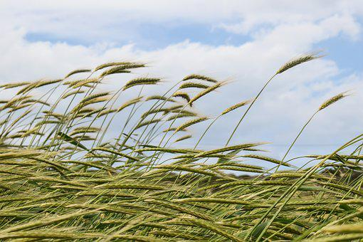 Barley, Cereals, Wind, Agriculture, Grain, Nature, Ear