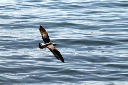 Seagulls, Sea, Seagull, Bird, Nature, Birds, Sky