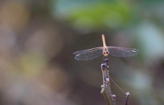 Dragonfly, Insecta, Wings, Nature, Gray, Branch