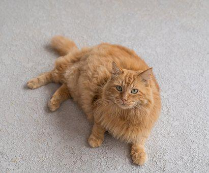 Cat, Orange, Fluffy, Green Eyes, Domestic, Pet, Animal