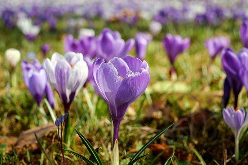 Crocus, Flower Meadow, Flowers, Blütenmeer, Colorful