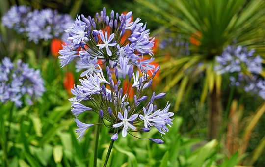Agapanthus, Flower Purple, Jewelry Lilies Greenhouse