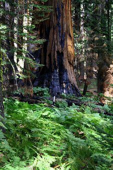 Redwood, Burned, California, Forest, Nature, Sequoia