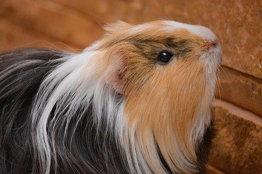 Piggy, Guinea Pig, Pet, Animals, Pets, Home
