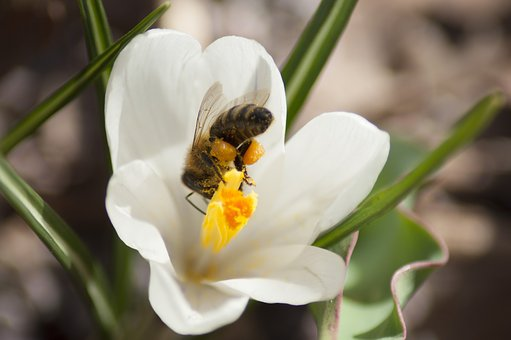 Bee, Crocus, Flower, Spring, Nature, Insect, Blooming