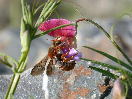 Red Bee, Rhodanthidium Sticticum, Libar, Smell Pea