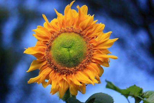 Sunflower, Yellow, Summer, Plant, Color, Nature