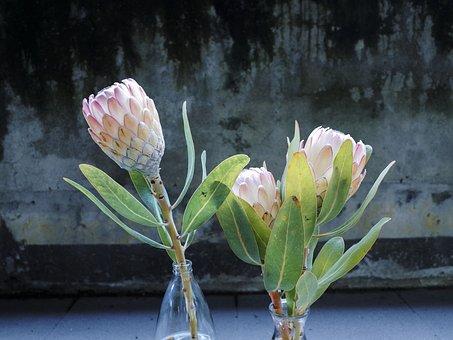 Flower, Plant, Green, King Protea, Flowering
