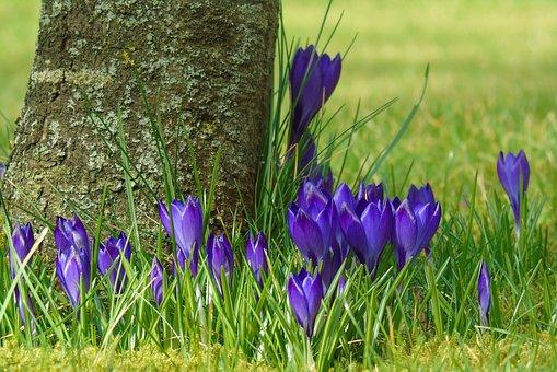 Crocus, Garden, Spring, Flower, Purple, Flowers