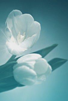 Flower, Tulip, Plant, Cut Flower, Spring, Spring Flower