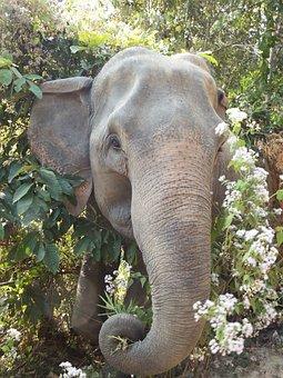 Elephant, Thailand, Animals, Head, Pachyderm