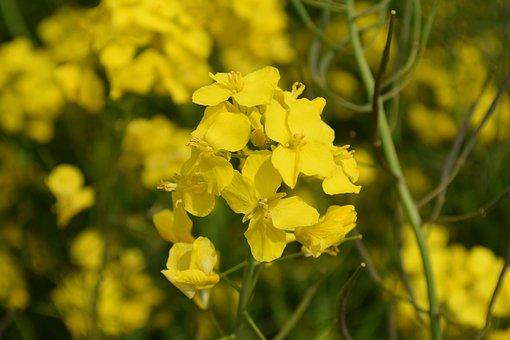Oilseed Rape, Plant, Oilseed Rape Plants, Yellow