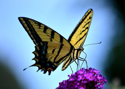 Butterfly, Yellow, Colorful, Nature, Tiger Swallowtail