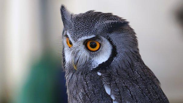 Owl, Eye View, Zwerguhu, Plumage, Raptor, Lighted Eyes