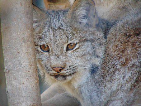Feline, Lynx, Canada, Animal, Mammal, Hair