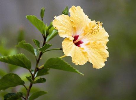 Hibiscus, Tropical, Flower, Plant, Blossom, Spring