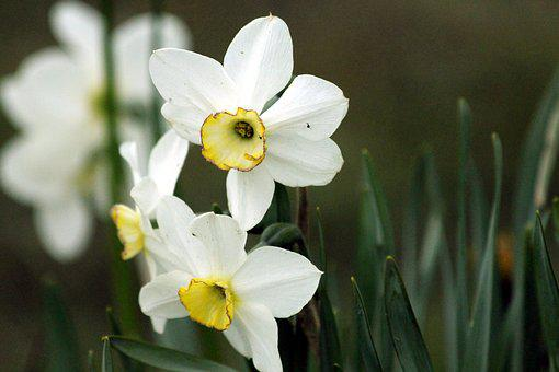 Daffodils, Flowers, Narcissus, Plant, White, Closeup