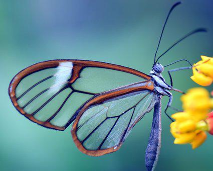 Butterfly, Glass Falter, Close, Transparent, Nature