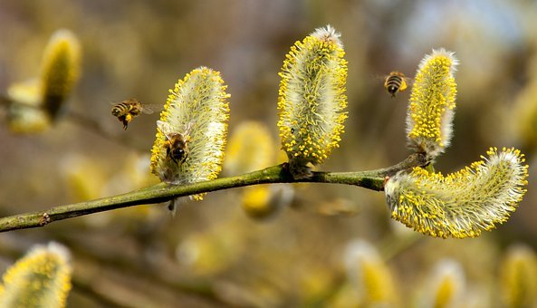 Bees, Pussy Willow, Spring, Insect, Nature, Honey Bee