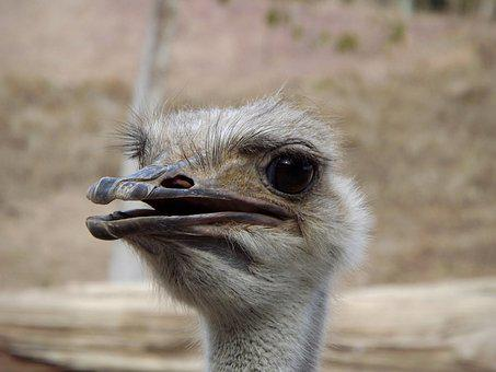 Ostrich, Ave, Face, Look, Pose, Eyes, Animals