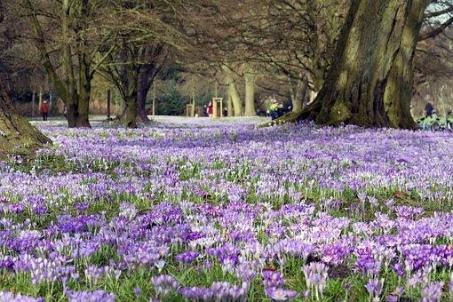 Blütenmeer, Crocus, Purple, Park