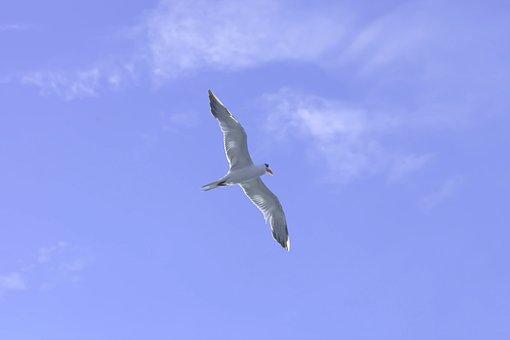 Seagull, Bird, Sky, Sea, Flight, Blue Sky