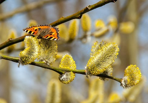 Butterfly, Pussy Willow, Spring, Summer, Blossom, Bloom