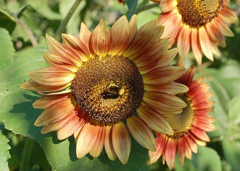 Sunflower, Bee, Orange, Yellow, Flower, Summer, Sun