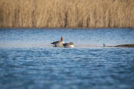 Geese, Greylag Goose, Goose, Bird, Animal, Poultry
