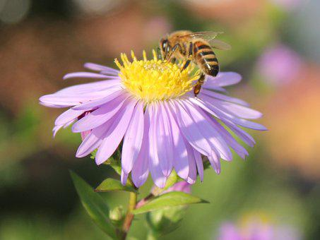 Bee, Flower, Blossom, Bloom, Insect, Garden, Close