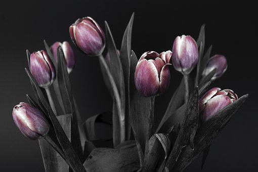 Tulips, Flowers, Pink, Black And White, Nature, Spring